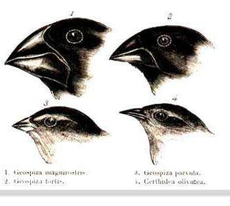 Charles Darwin Pinsons